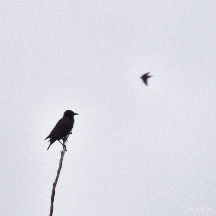 starling-and-swallow