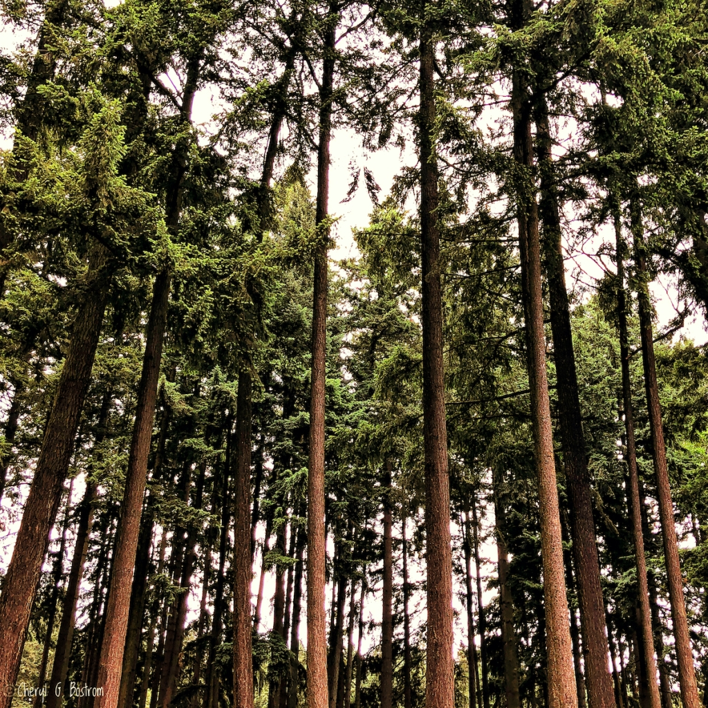 Long-straight-trunks-in-Douglas-fir-forest