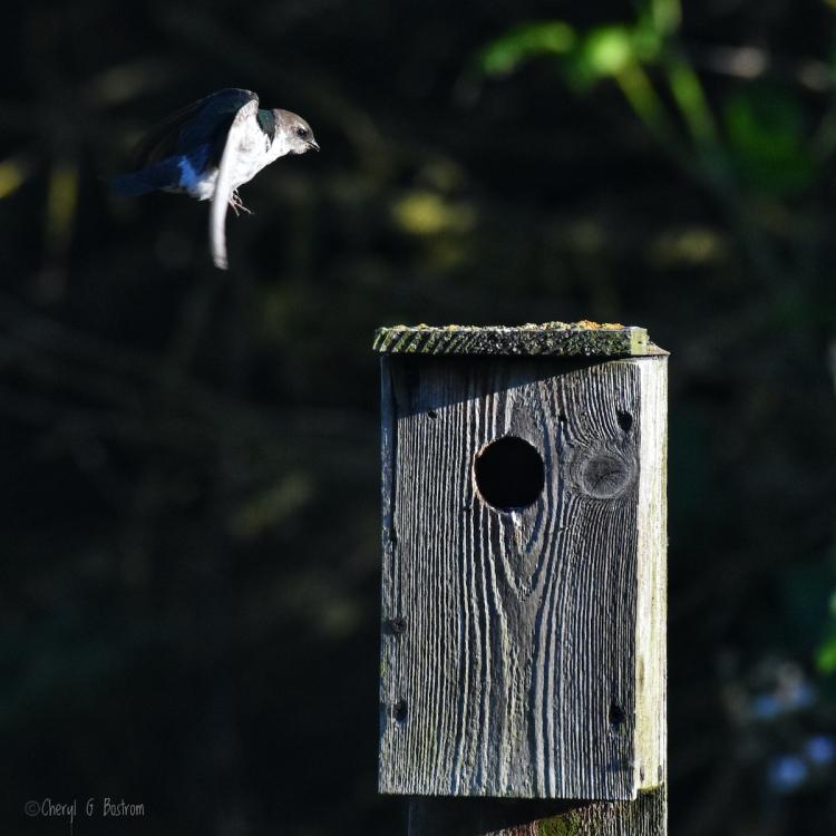 swallow-flies-to-nest