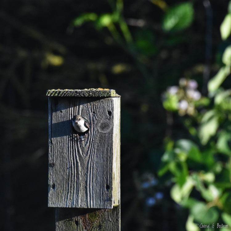 swallow-in-nest-box