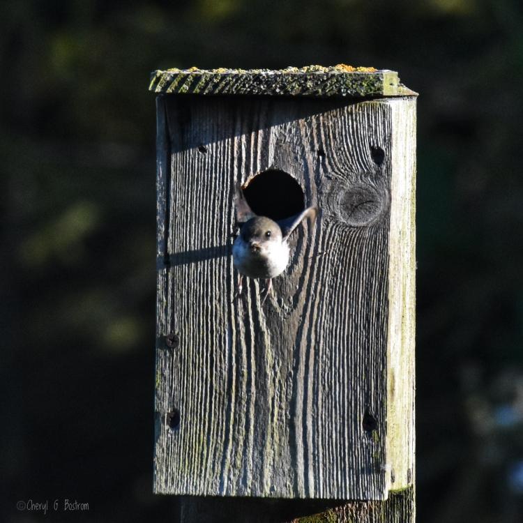 Swallow-flies-from-nest