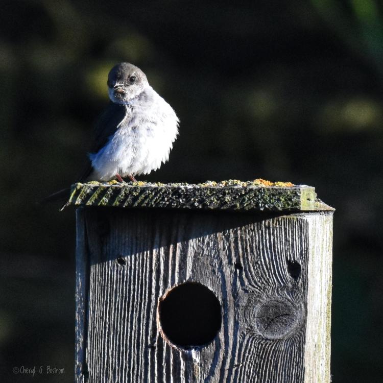 Tree-swallow-on-nest-box