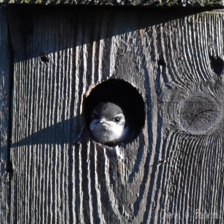 Baby-swallow-in-nest-box