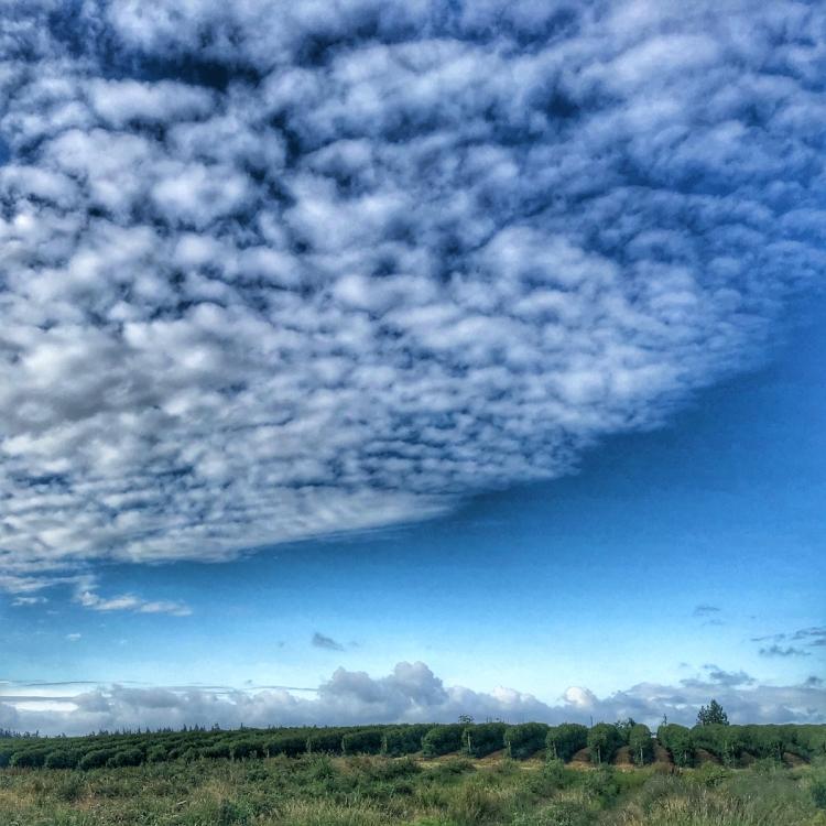 Fleecy-clouds-over-raspberry-field