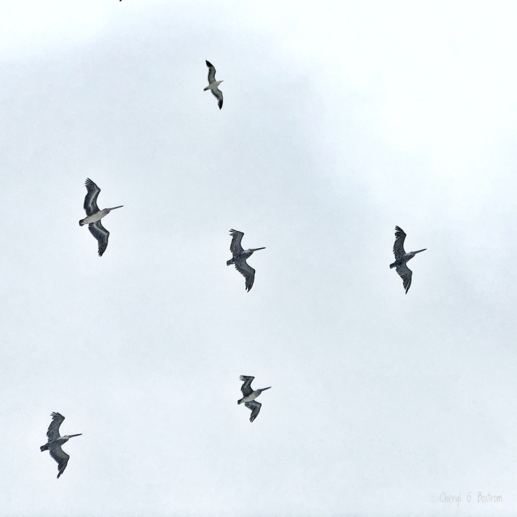 Lone-gull-flies-with-pelicans