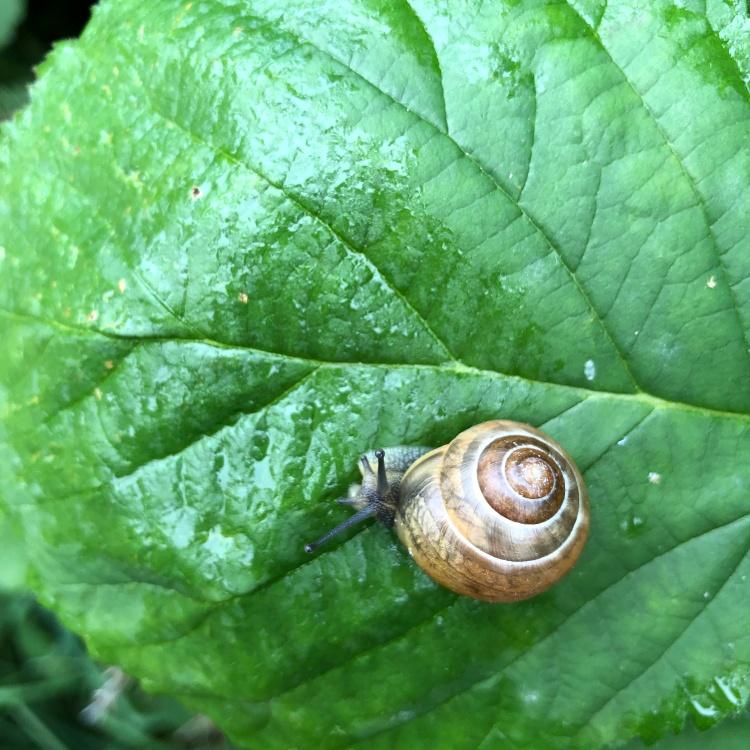 snail-on-blackberry-leaf