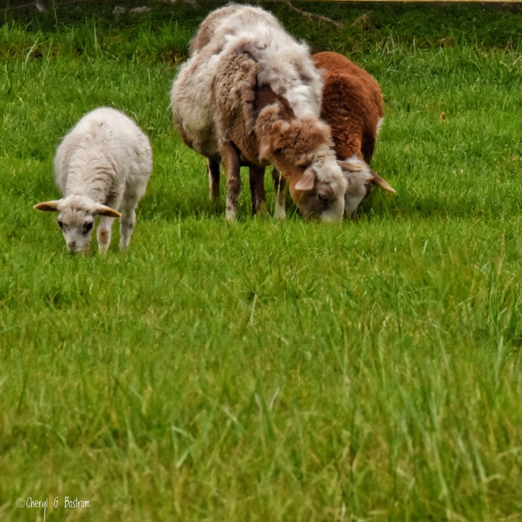 three-sheep-grazing