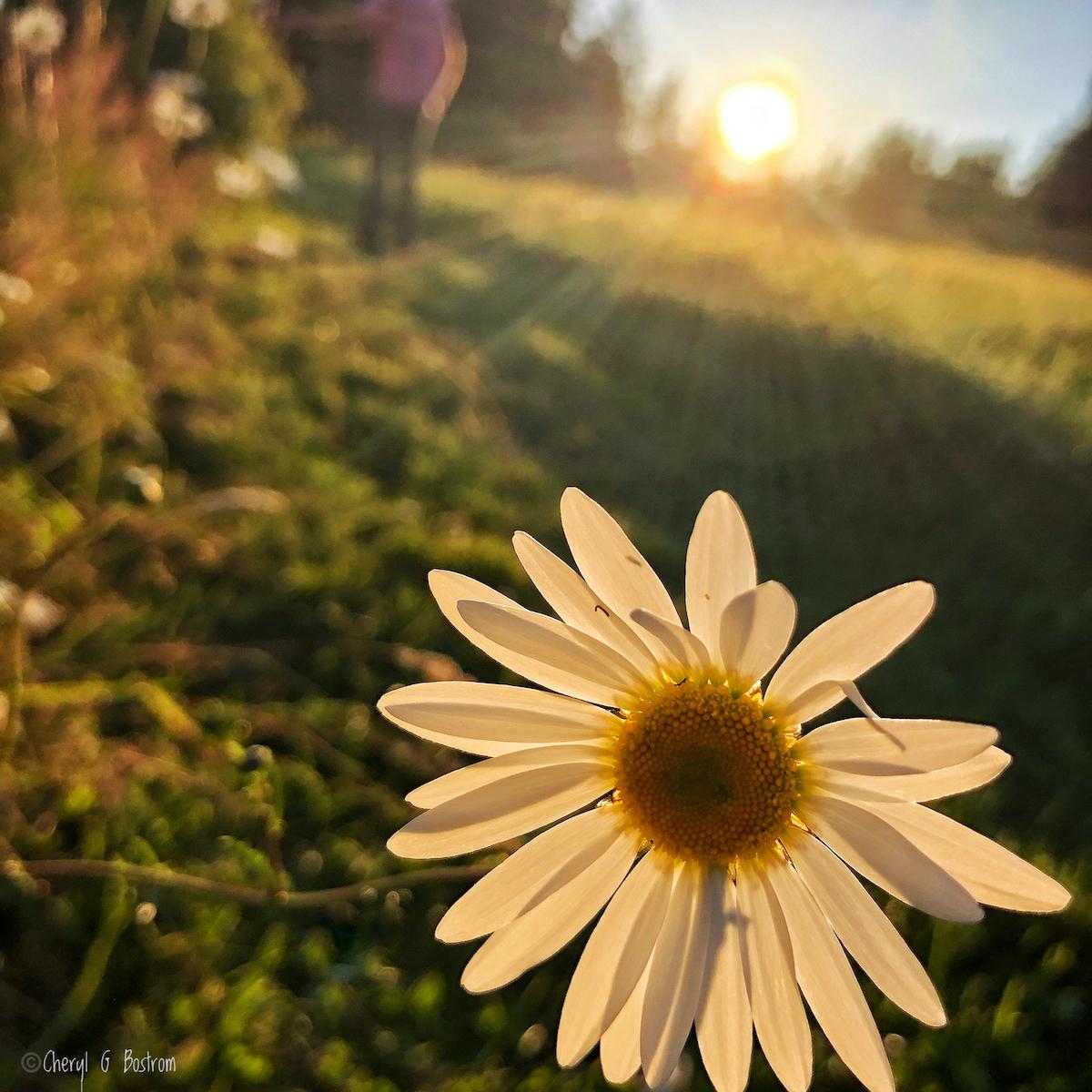 daisy-petals-screen-sunset-light