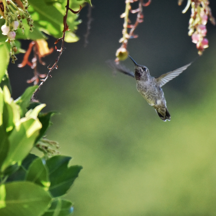 hummingbird-hovers
