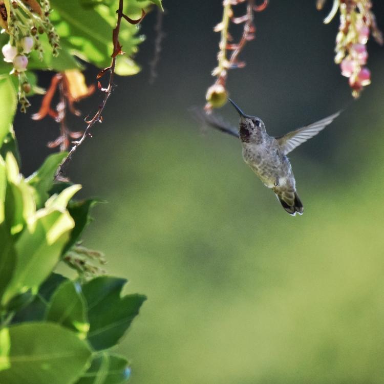 hummingbird-hovers