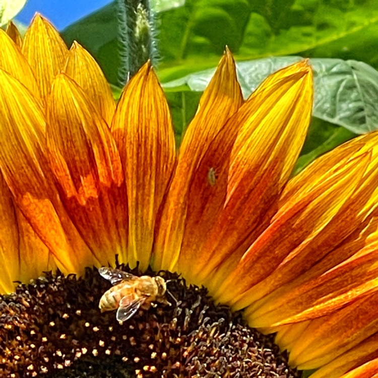 bee-on-sunflower-nature-photography-new-book