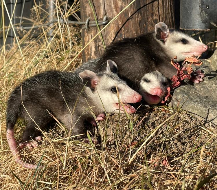 three-baby-possums
