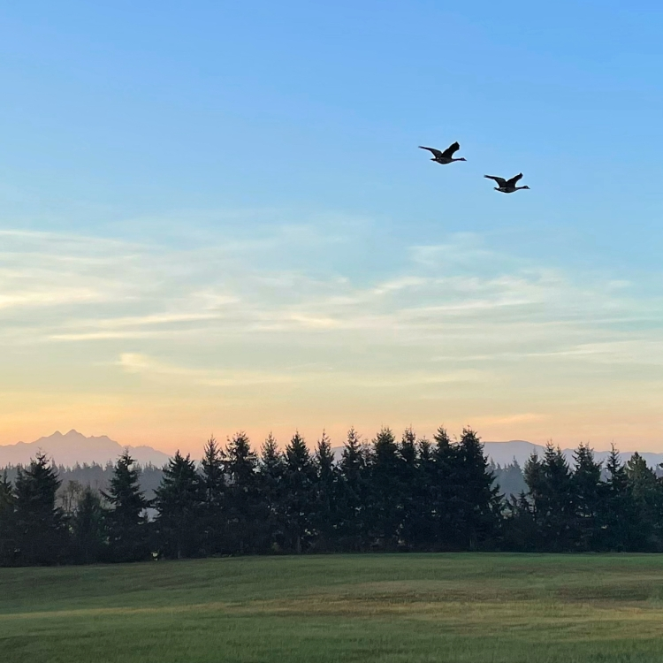 geese-cross-morning-sky, sugar-birds-book, wildlife-photography