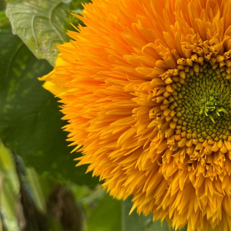 teddy-bear-sunflower-closeup