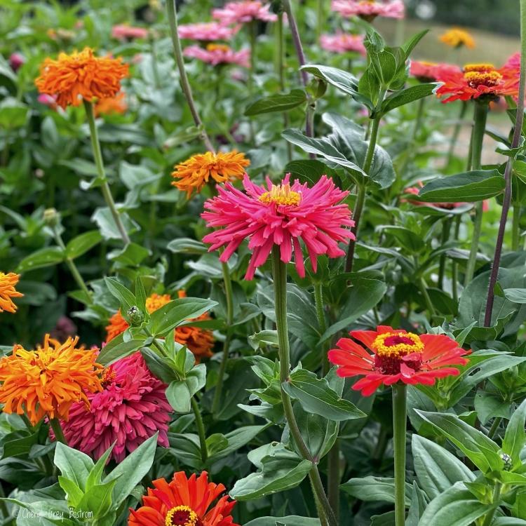 multicolored-zinnias-in-garden