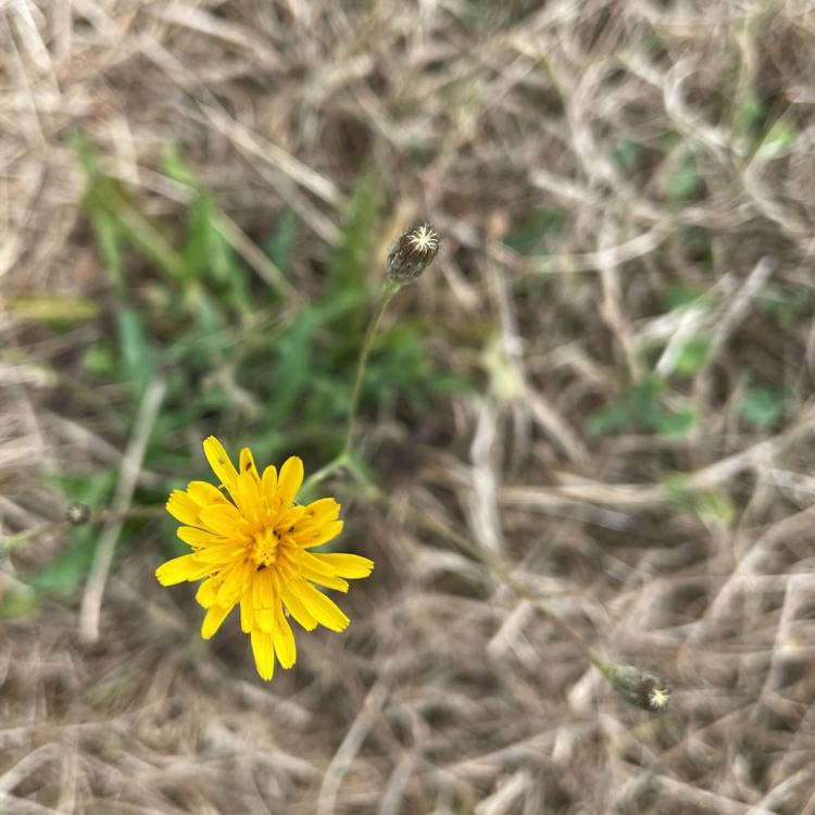 dandelion-in-dry-field, sugar-birds-book, nature-photography