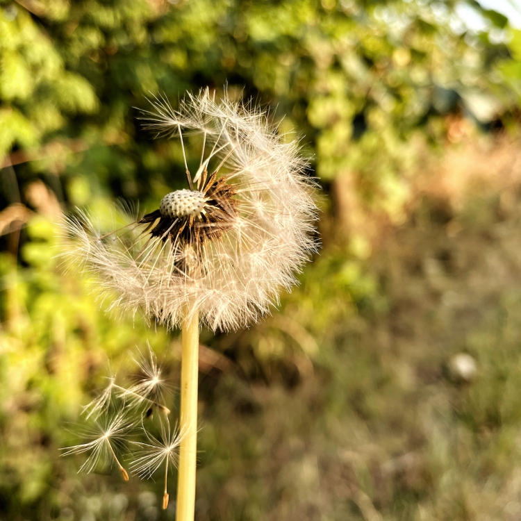 seeds-parachute-from-dandelion-puff