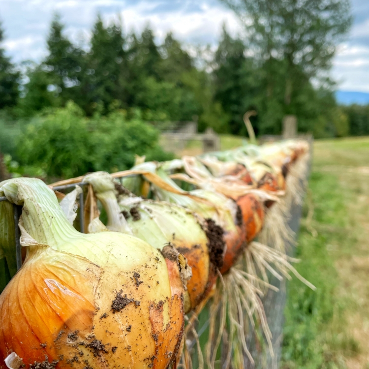 drying-onions-on-wire-fence
