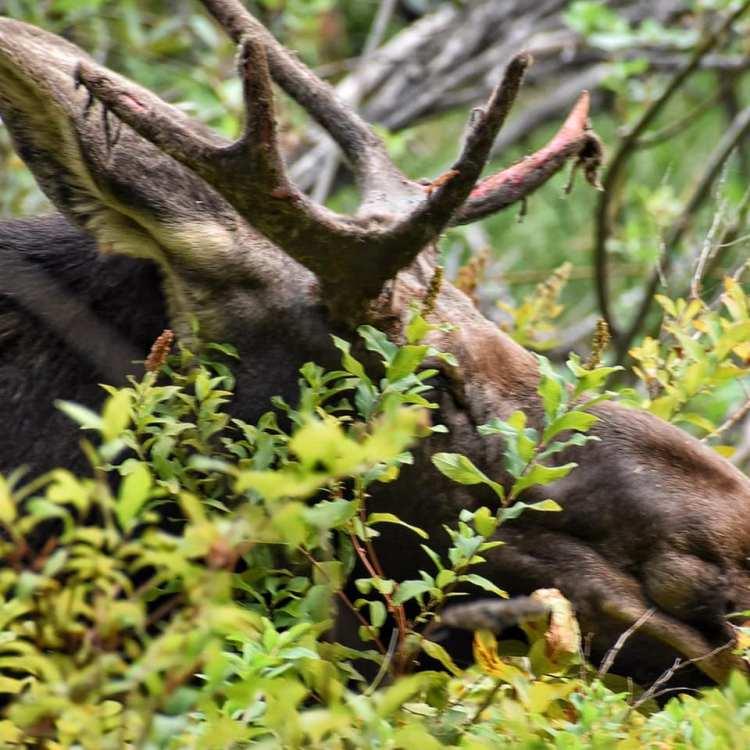 moose-velvet-rubbed