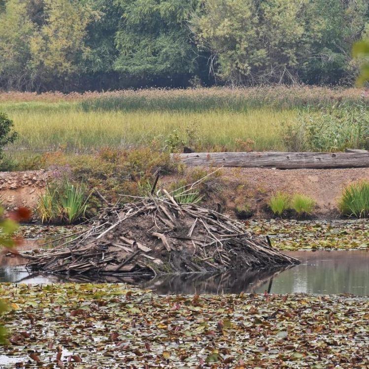 beaver-dam