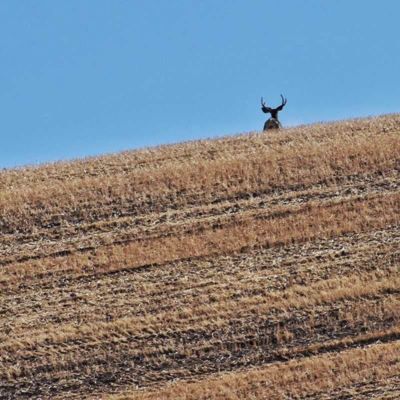 buck-disappears-over-wheat-stubble-hill