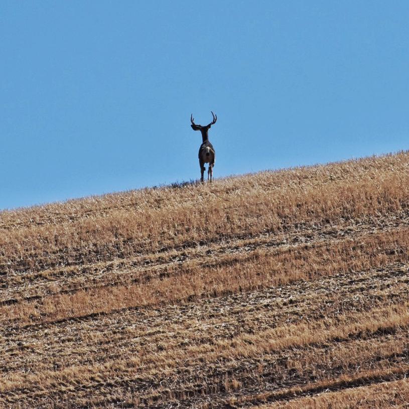 buck-at-crest-of-wheatfield-hill