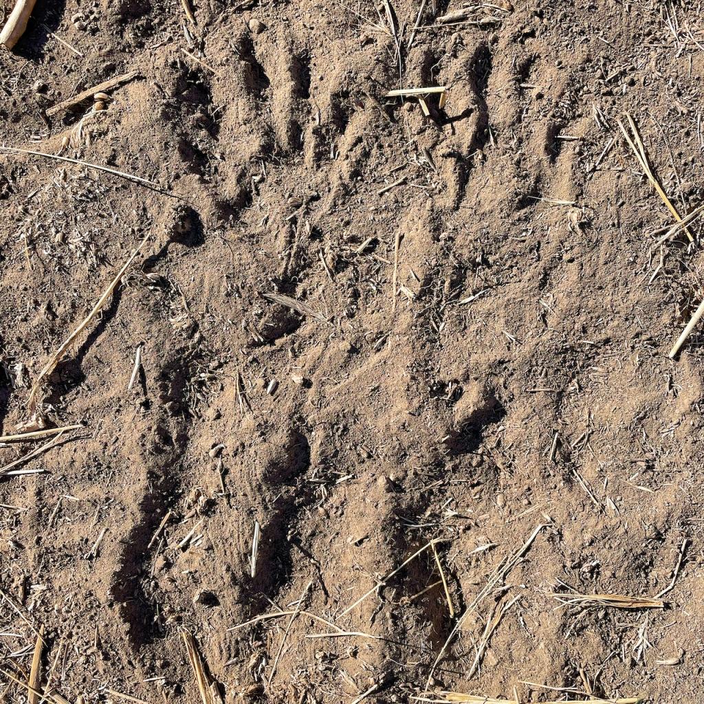 raccoon-tracks-in-dusty-soil