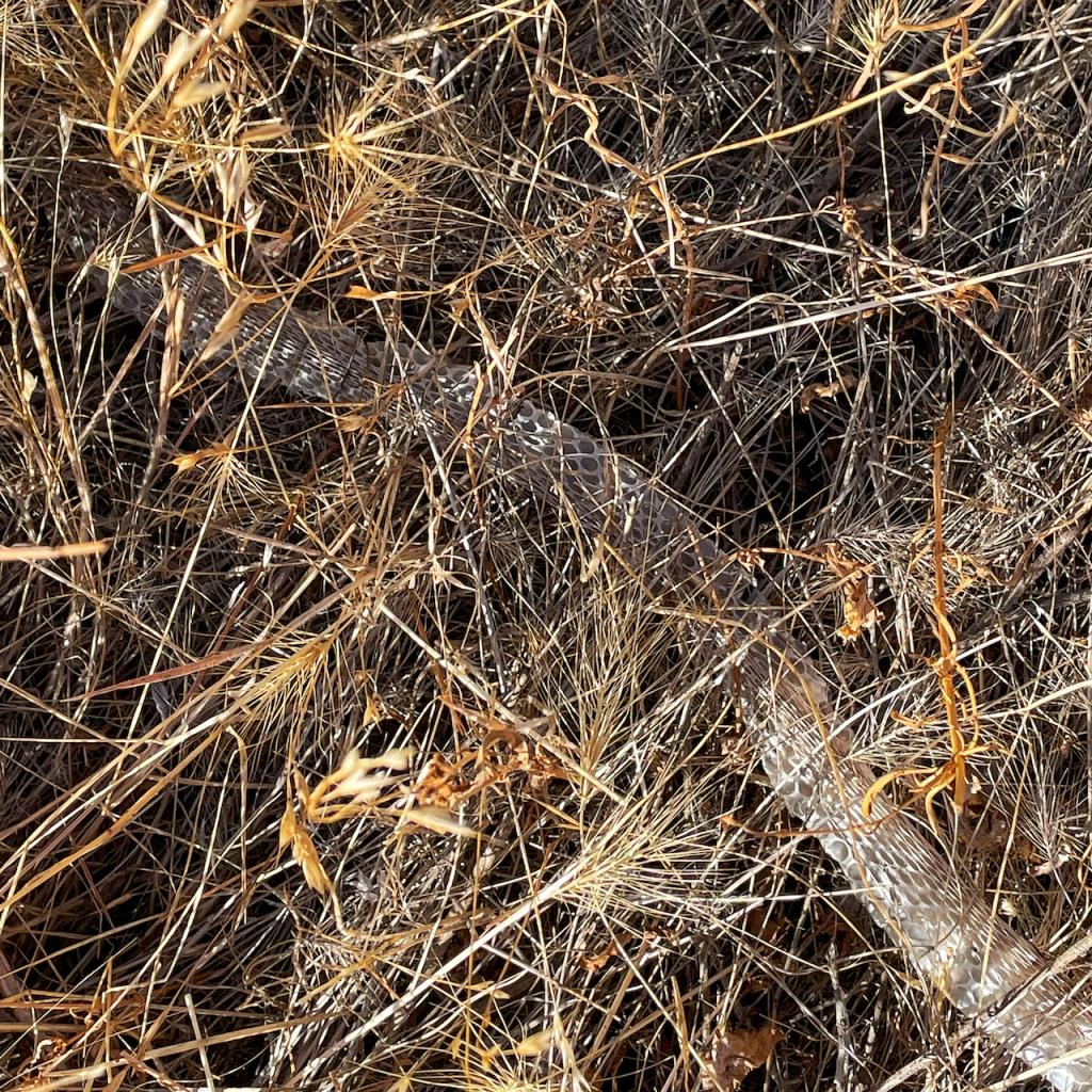 snakeskin-in-dry-grass