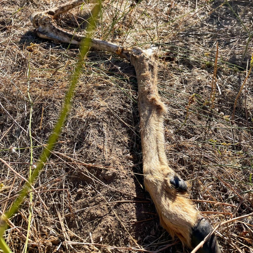 coyote-gnawed-deer-leg