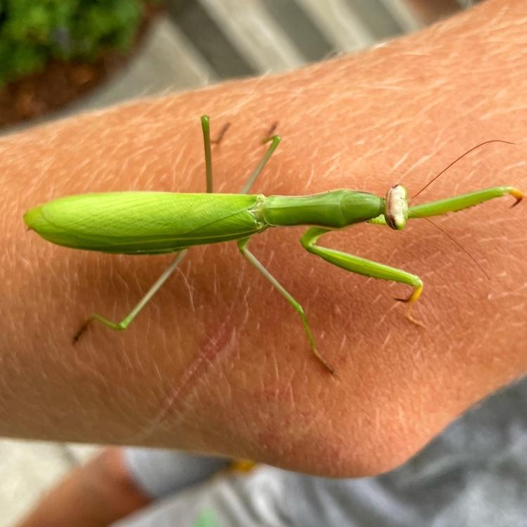 green-female-praying-mantis-on-boy's-arm